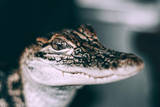 Baby Spectacled Caiman Croc