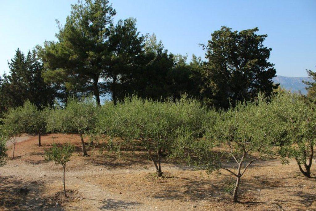 mediterrane naaldbomen