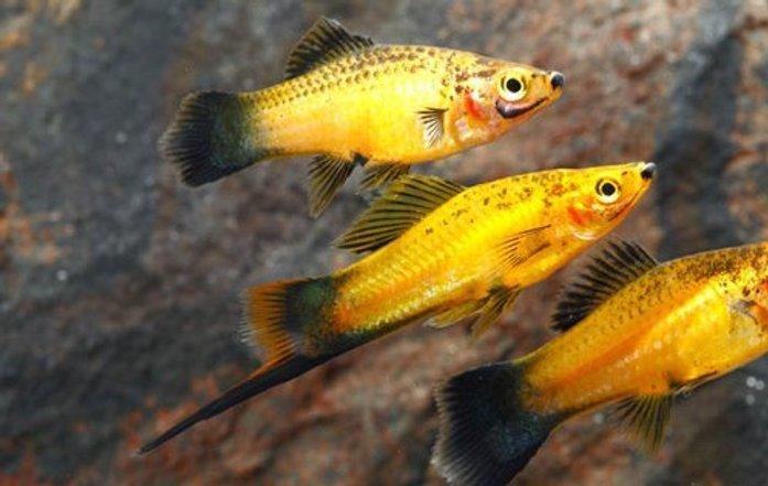 Pretty Marigold Wag Swordtail Goodjoseph Live Fish Store