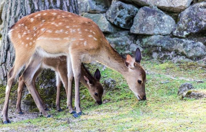 Deer family in Miyajima Japan