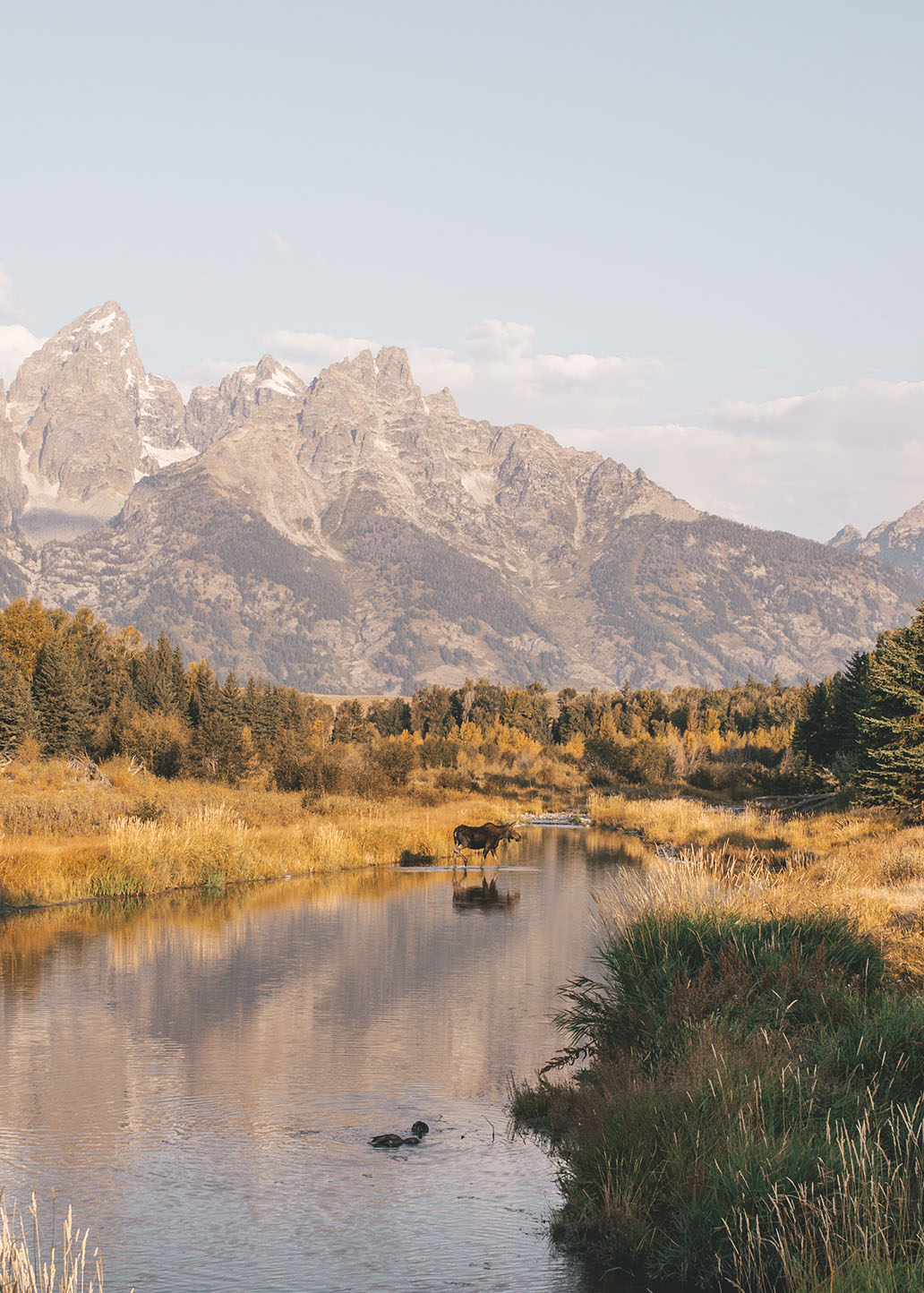 Moose at Schwabacher Landing
