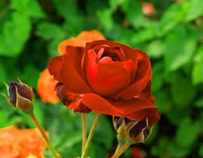 Flower For ProFile Download imaes Free