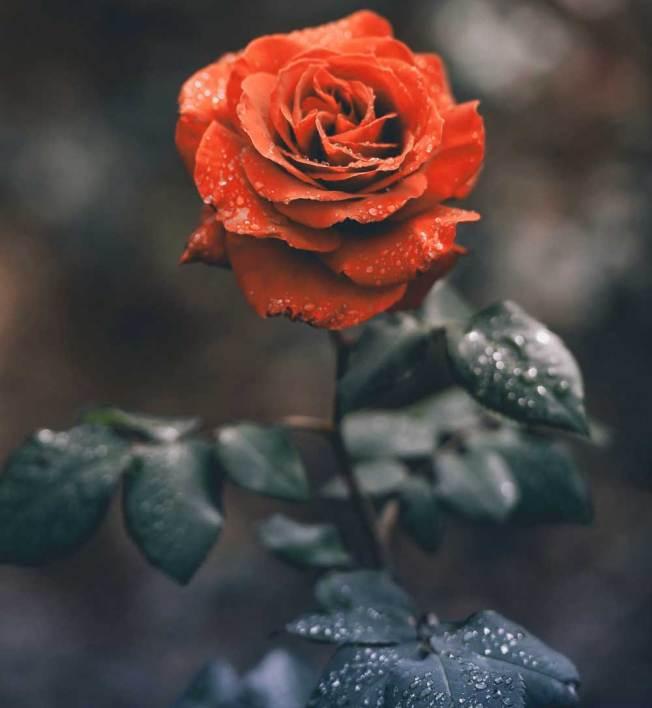 atest Flower For ProFile Photo Pics