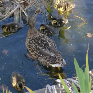 Ducklings and female duck back to the water
