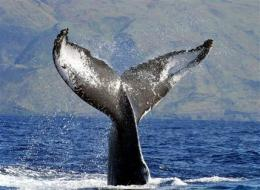 humpback-tail-noaa.jpg