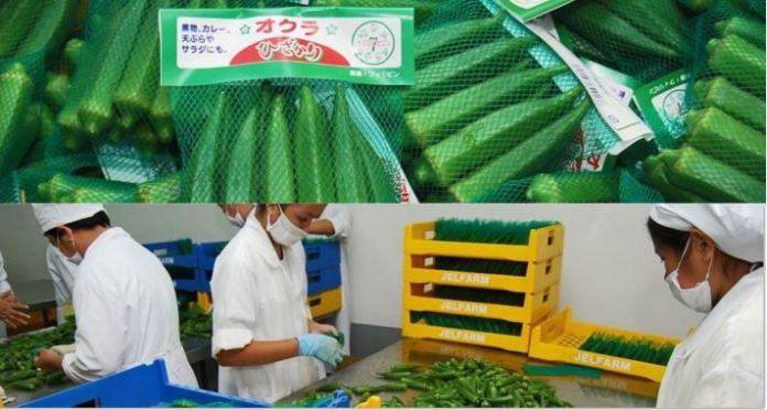 Tarlac farmers export okra to Japan