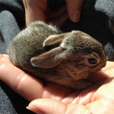 baby bunny in palm of hand a wildlife rescue