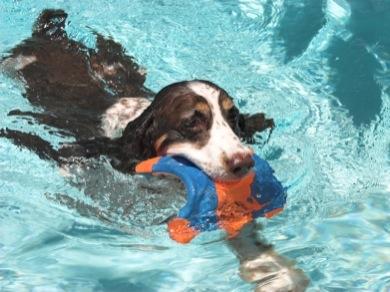 dog swimming - canine hip dysplasia