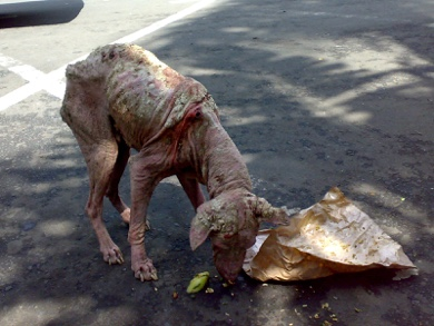 Mange - Dog with sarcoptic mange.