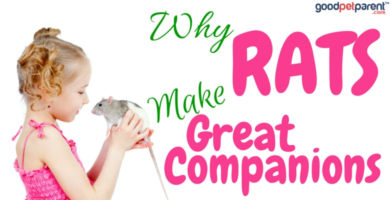 GoodPetParent.com Feature Image Rats Great Companions