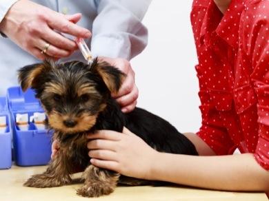 GoodPetParent canine parvovirus vaccinating a Yorkshire puppy