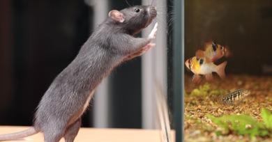 rat and aquarium