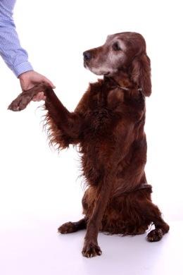 Irish Setter gives paw