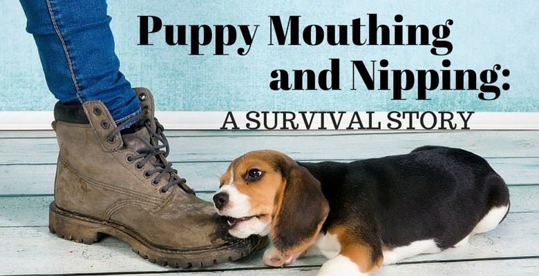 GoodPetParent.com Feature Image beagle puppy mouthing nipping a boot