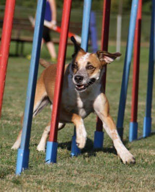 dog in weave poles showing agility