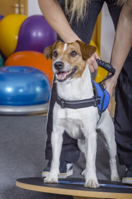 Jack Russell Terrier on balance board in physical therapy