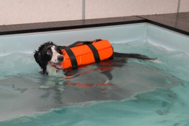 Physical therapy for Border Collie in pool