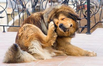 Ear Hematomas In Dogs - Good Pet Parent