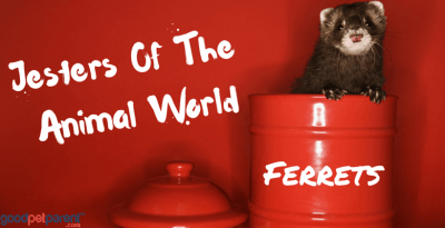 Ferrets - Jesters Of The Animal World Feature Image