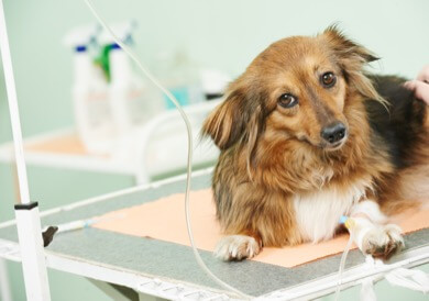Dog on IV Fluids Treated for Liver Disease