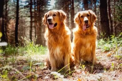 Golden Retriever has highest cancer rate