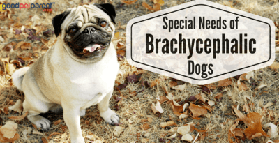 Special Needs of Brachycephalic Dogs Feature Image
