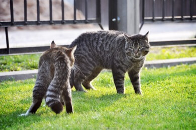 cats outside fighting