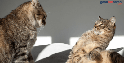 Non-Recognition Aggression Syndrome In Cats
