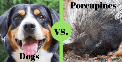 Dogs and Porcupines: A Losing Battle