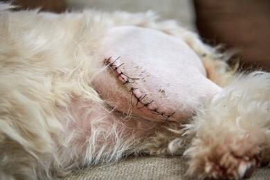 Luxating Patella In Dogs Good Pet Parent