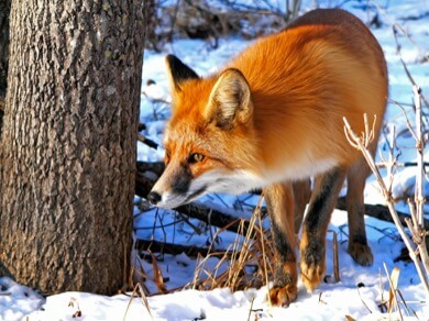 fox are susceptible to canine distemper