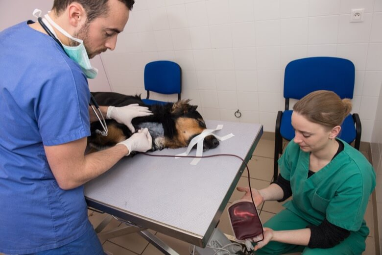 dog getting blood transfusion