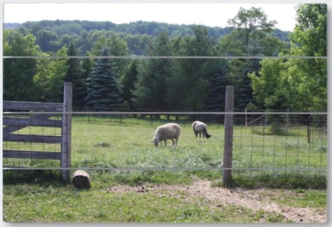 Wisconsin sheep wood panel print