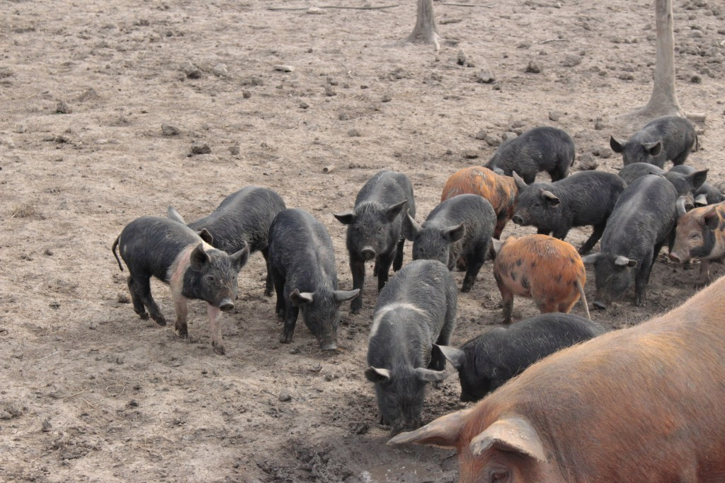 Our Gate To Your Plate Piglets