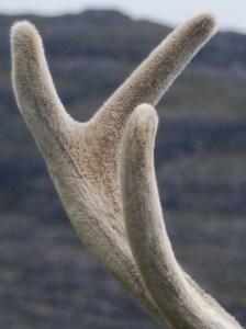 Benefits of Deer Antler Velvet
