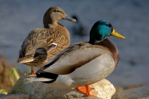 Duck Nutrition - Mallard Ducks
