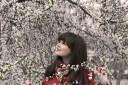 Sakura Kiraz Ağacı