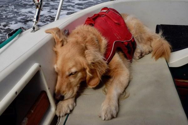 Honey the boat dog wears a life jacket underway.