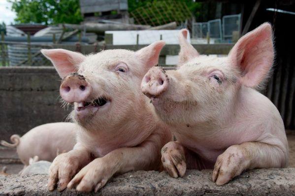 Украинские сельхозпроизводители  просят ограничить ввоз в страну польской свинины