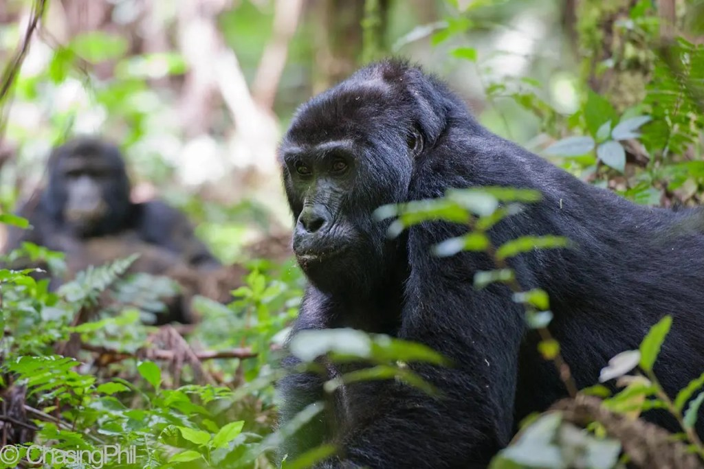 6 Day Uganda Gorillas, Chimps & Game Drive Safari