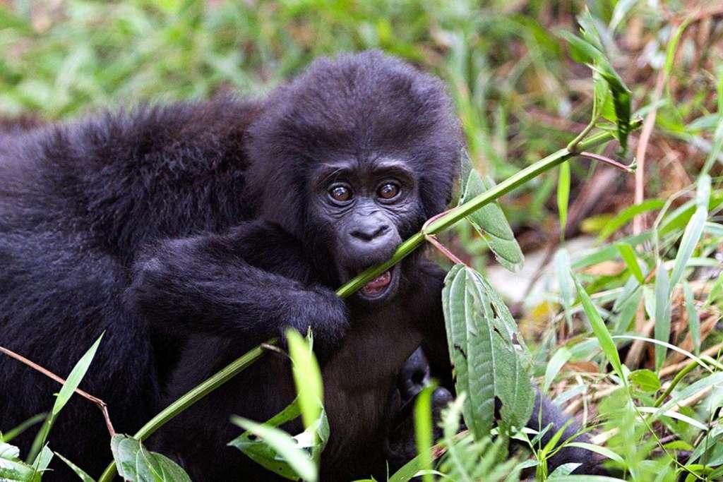 Rwanda Gorilla Trekking Tour - Mountain Gorilla Trekking