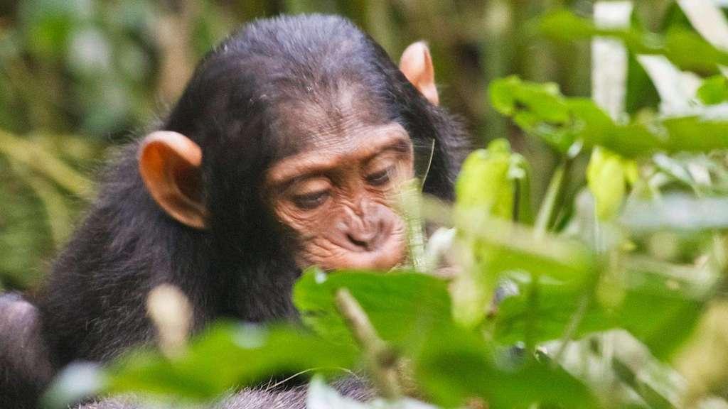 Kibale Chimpanzee tracking safari