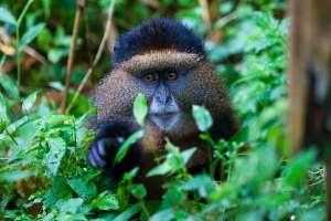 3 Day Rwanda Gorilla Trekking, Golden Monkey Safari