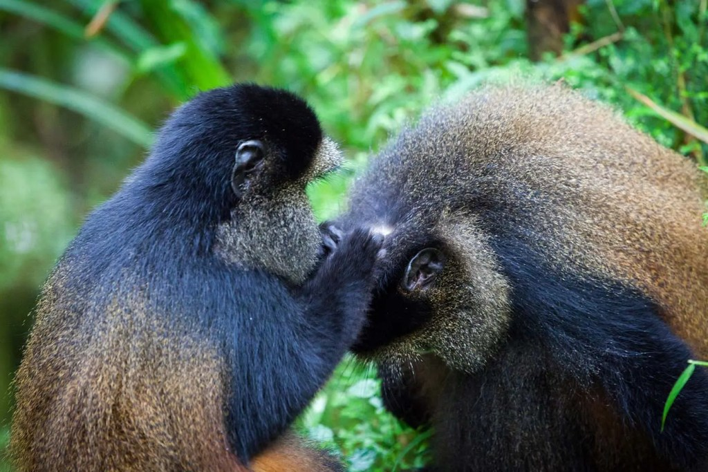 GOlden Monkey Habituation Experience in Uganda Mgahinga