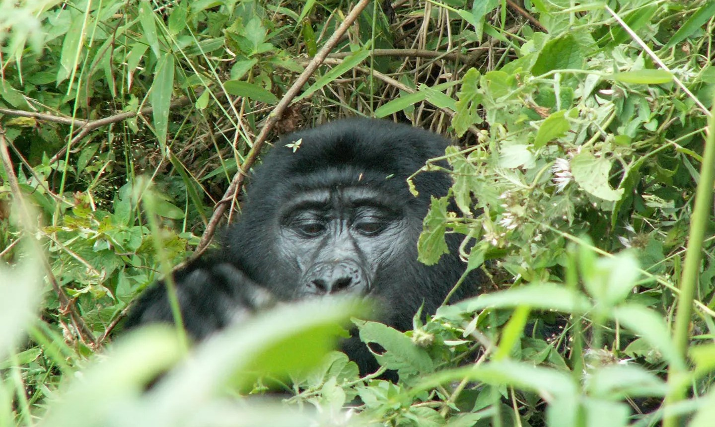Bwindi Impenetrable Forest Uganda Gorilla Tracking Tour