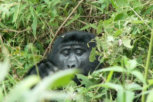 Bwindi Impenetrable Forest - 3 Day Uganda Gorilla Tracking Tour