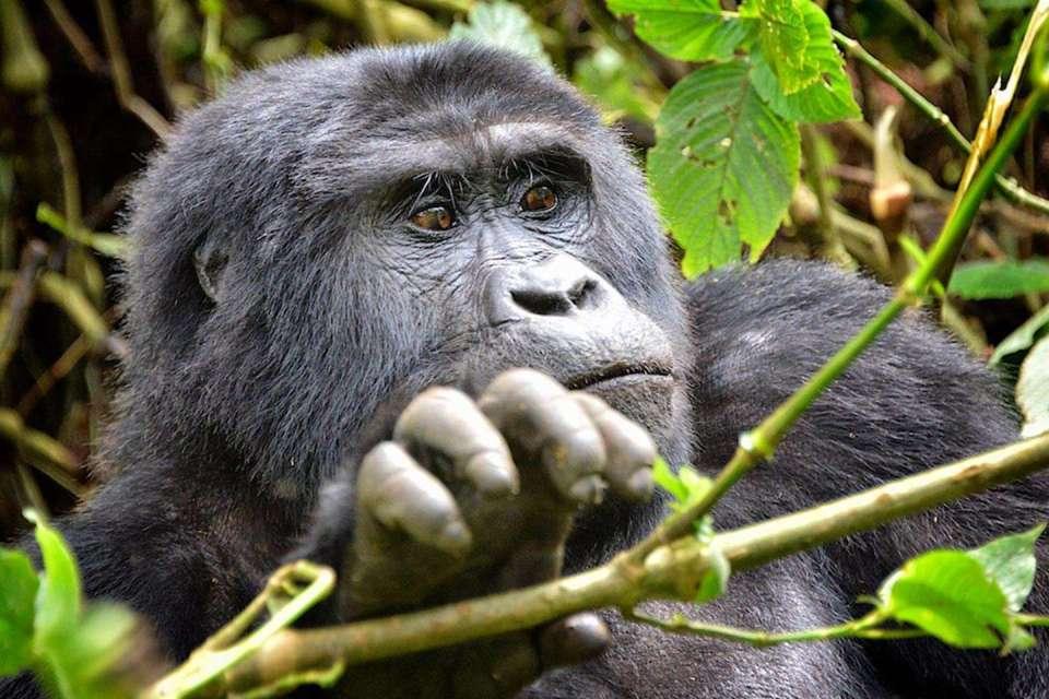 Rushaga Gorilla Groups - 2 Day Uganda Gorilla Tracking from Kigali