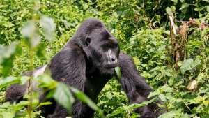 Gorilla Tracking Africa - Gorilla Trekking Safari