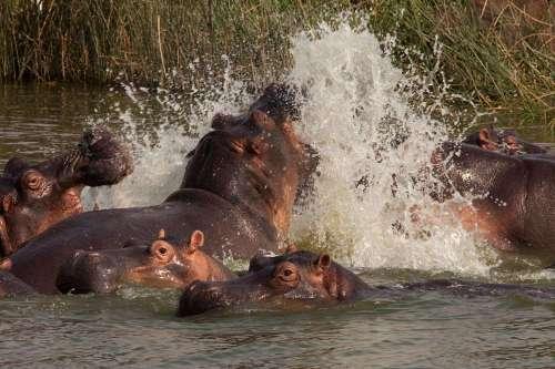 Murchison Hippos