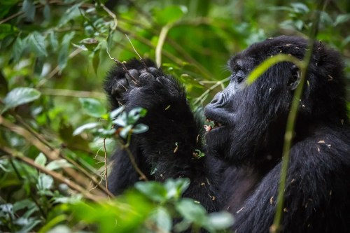 4 Day Gorilla Trekking Safari in Uganda